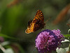 female great spangled fritillary (Speyeria cybele) on butterfly bush