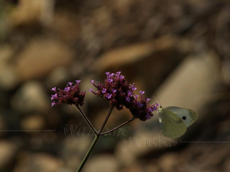 Cabbage White (Pieris rapae) on Purpletop vervain ( Verbena bonariensis )