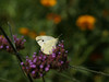 Cabbage White (Pieris rapae) on Purpletop vervain ( Verbena bonariensis )