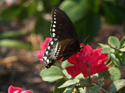 Pipevine Swallowtail (Battus philenor)on Rose