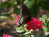 Pipevine Swallowtail (Battus philenor)on Rose