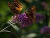 male & female great spangled fritillary (Speyeria cybele) on butterfly bush