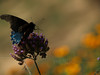 Male pipevine swallowtail (Battus philenor) on Purpletop vervain ( Verbena bonariensis )