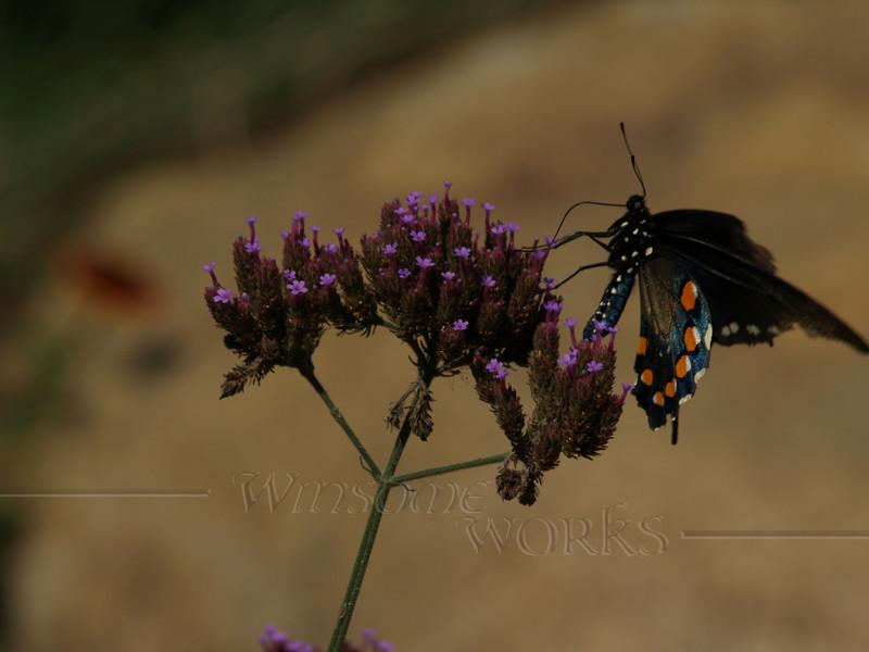 Pipevine Swallowtail (Battus philenor) on Purpletop vervain ( Verbena bonariensis )