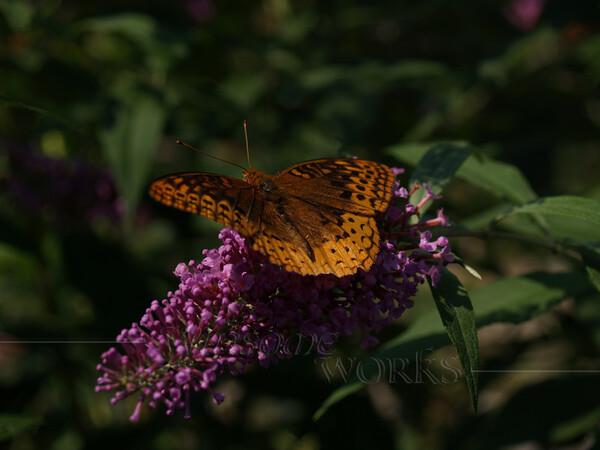 Male Great Spangled Fritillary (Speyeria cybele) on Butterfly Bush
