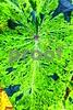 P1260818 Varigated Black and Green leaf prodex_1