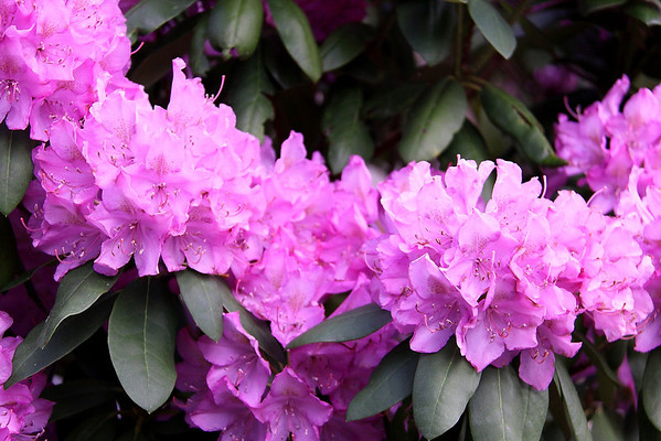 close up of the rhododendron to the left of the front door...
