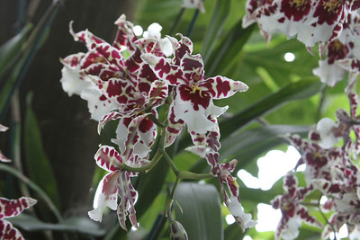 NYBG Orchid Show 3 18 2011 027