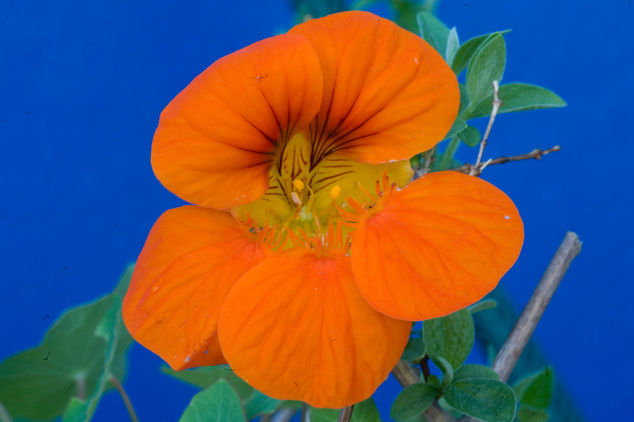 Tropaeolum majus, nasturtium or kappertjie, a summer-flowering annual native to the highlands of Central and South America