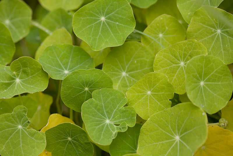 Leaves of the Tropaeolum majus, nasturtium or kappertjie, a summer-flowering annual native to the highlands of Central and South America, are sometimes used in salads
