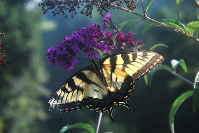 Tiger Swallowtail Butterfly taken in Augusta West Virginia, near Romney-Hampshire County.