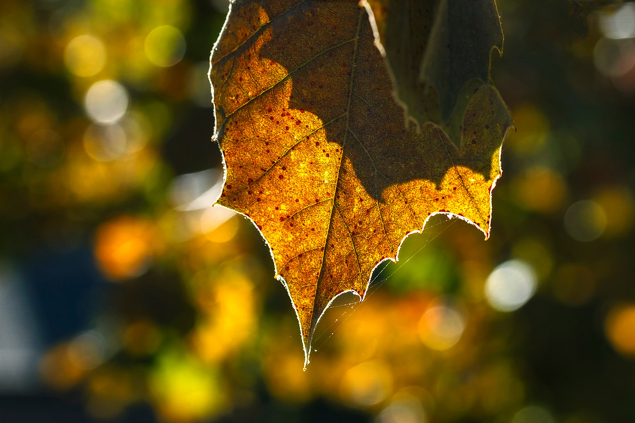 Last Days of the Leaf