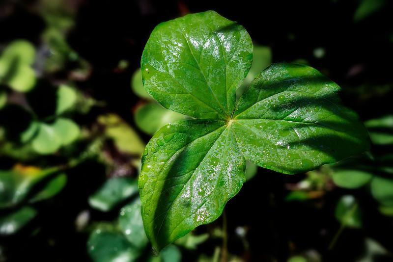 Muir Leaf