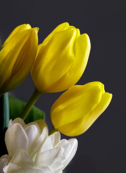 Tulips Nearing Spring