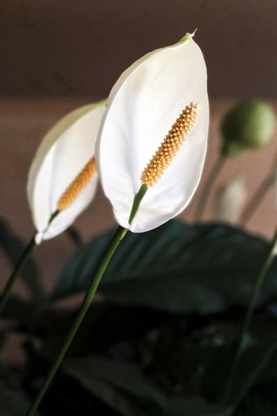 Prayer Flowers