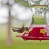 Hummingbirds at Sipes.