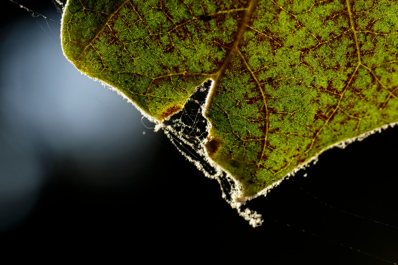 Web in Leaf