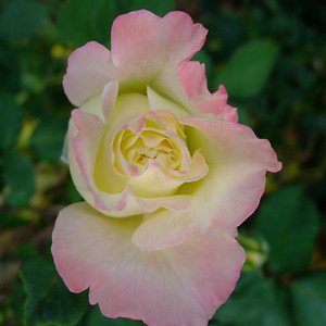 Peace Rose uncut