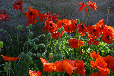 Poppies in front of wall in June morning sunlight