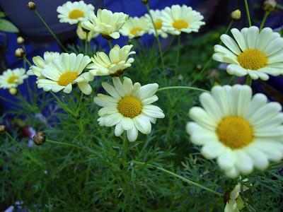 Daisies, uncut