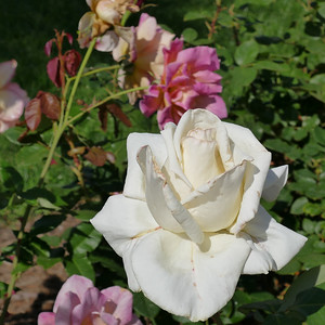 nc roses-1000217