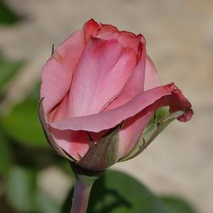 nc roses-1000212