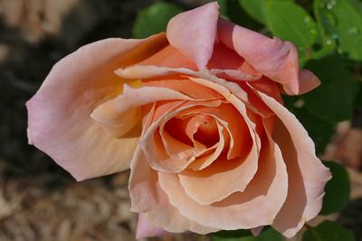 nc roses-1000218