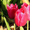 Tulips in the sun! Hamilton Ontario May 2013