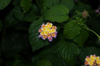 Nepali / Himalayan flora, July - August 2010