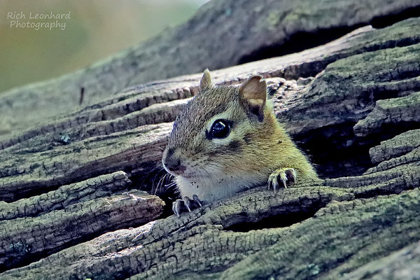 Cute little Chipmunk at The New York Botanical Gardens, NY.