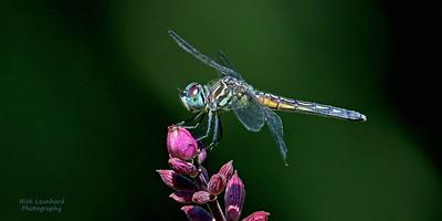Dragonfly on flower at The New York Botanical Garden.