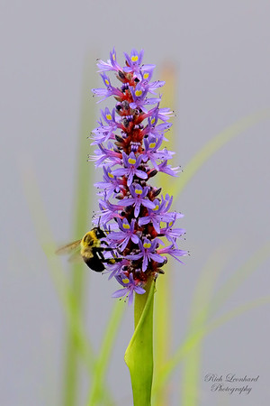 Bee on a Purple flower at The New York Botanical Garden.
