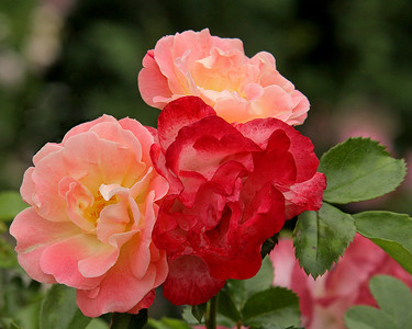 Roses at The New York Botanical Garden