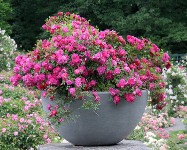 Pot of Roses at New York Botanical Gardens