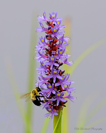 Bee on a flower in The New York Botanical garden.