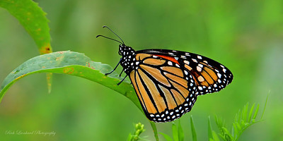 Monarch Butterfly at The New York Botanical Garden.