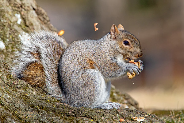 Squirrel eating Peanut in The New York Botanical Garden, NY.