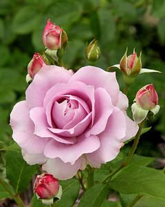 Beautifull Rose at The New York Botanical Gardens