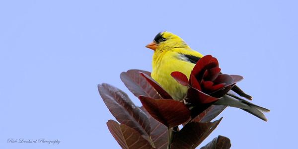 Pretty Yellow Bird at The New York Botanical Garden.