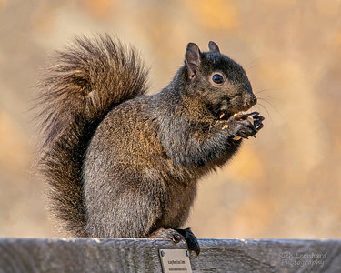 Black Squirrel in The New York Botanical Garden, NY.