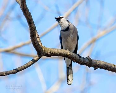 Blue Jay in The New York Botanical Garden, NY.