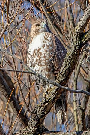 Hawk at The New York Botanical Garden, NY.
