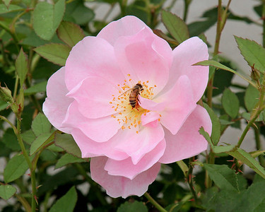 Rose with Wasp in center at The New York Botanical Gardens