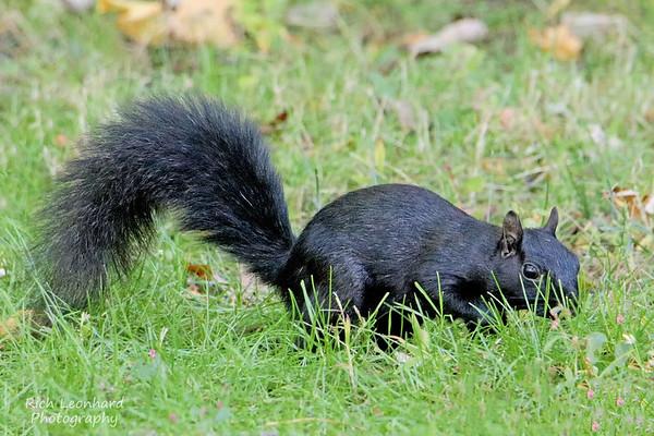 Black Squirrel at The New York Botanical Gardens, NY.