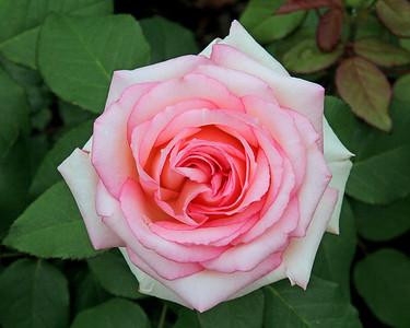 Pink Rose at New York Botanical Gardens. In the Peggy Rockefeller Rose Garden.