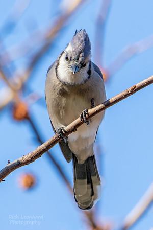 Blue Jay at The New York Botanical Garden, NY.