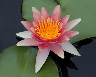 Water Lilly at New York Botanical Garden