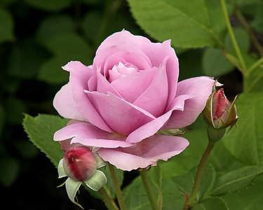 Rose at The New York Botanical Gardens
