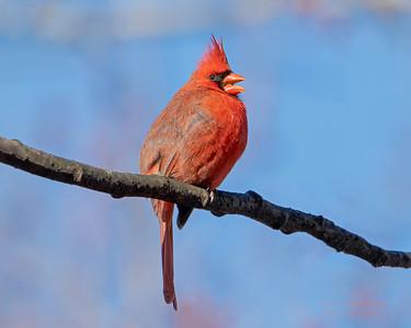 Cardinal at The New York Botanical Garden, NY.