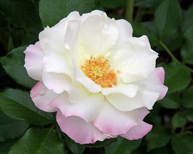 Rose at New York Botanical Gardens
